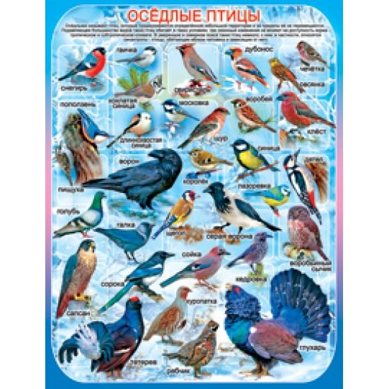 Плакаты, Оседлые птицы,  (10 шт.), 33 р. за 1 шт.